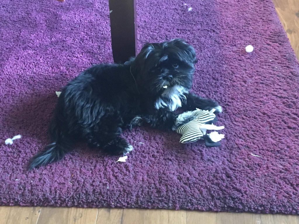 Zooey!! Puppy Sitting